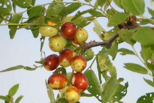 小红枣幼树种植管理技术