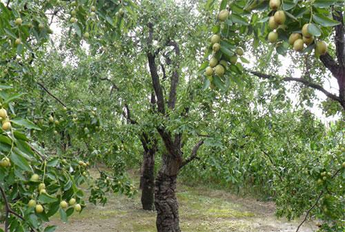 枣树冬天适合种植吗