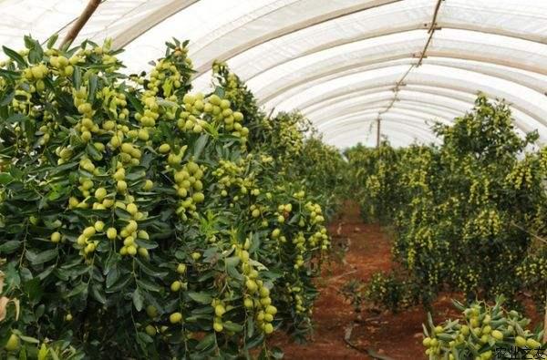 枣树种植时间