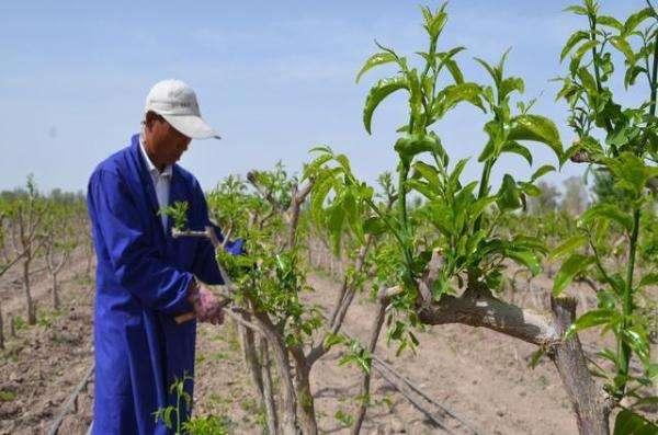 枣树该什么时候种植