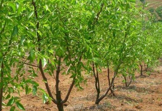 枣树种植季节