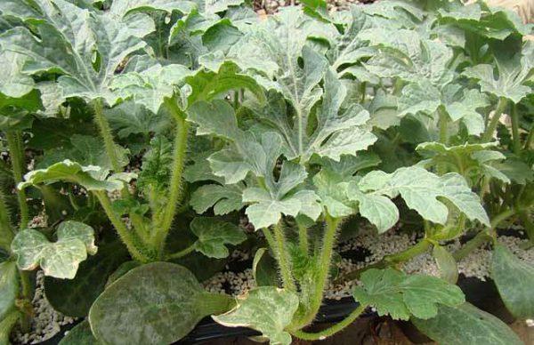 西瓜籽撒在土里能长出西瓜来吗